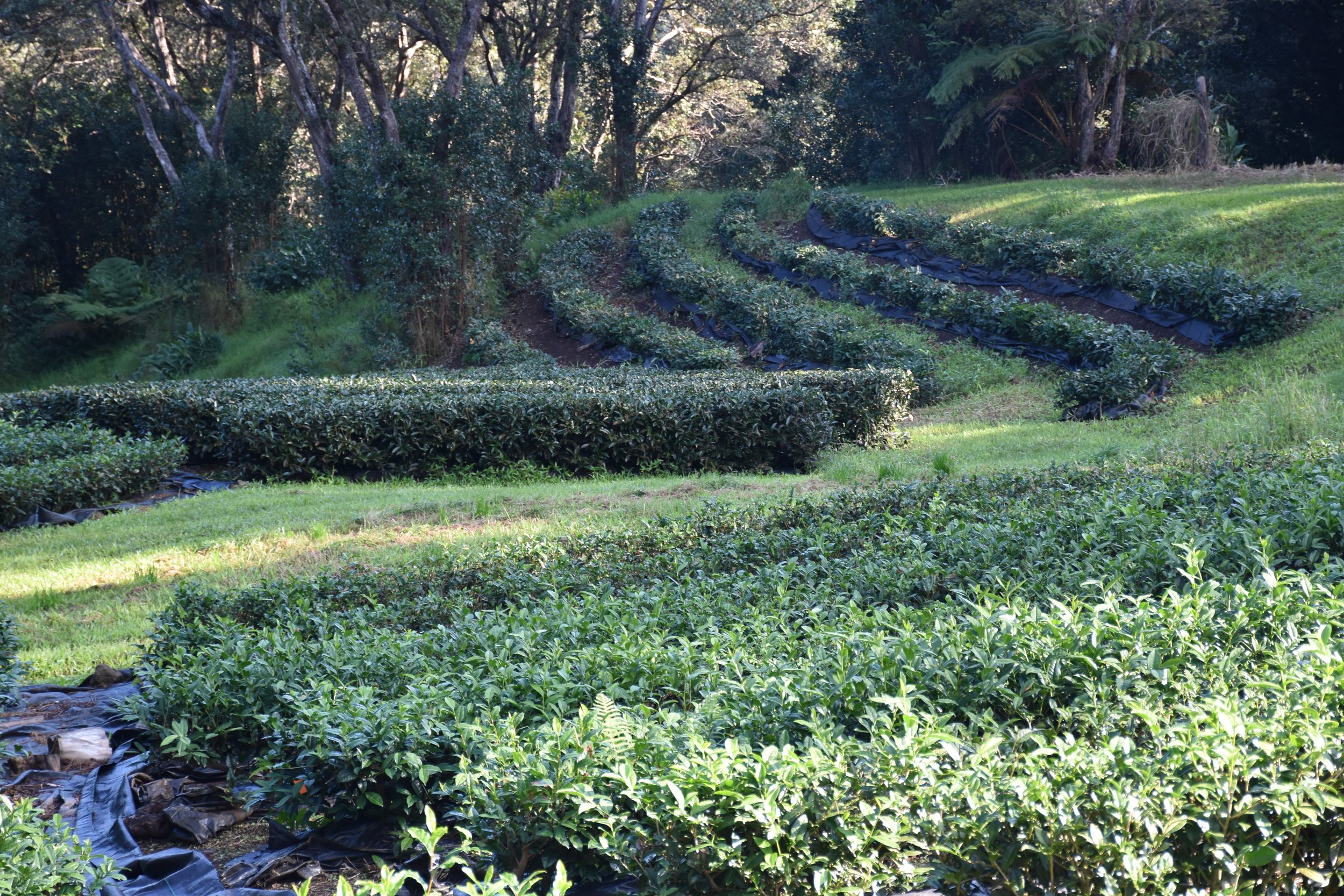 The Tea Fields at Mauna Kea Tea Farms#2