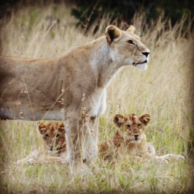 Mother and cubs in Maasai Mara National Reserve, Kenya. On the way back to camp for the evening, we came across a group of about 9 lions.  #maasaimaranationalreserve , #lioncubs , #kenyasafari , #safarikenya