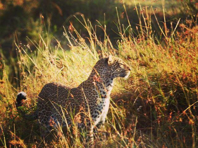A leopard on the prowl in Maasai Mara National Reserve, Kenya  #maasaimara , #kenya , #kenyasafari , #africansafaris , #leopards