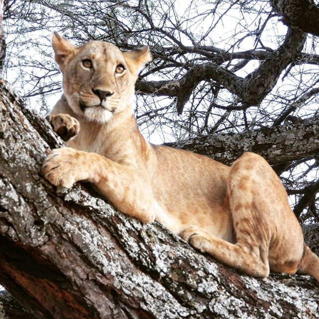 Lion in a tree in Tarangire National Park, Tanzania.  #tarangirenationalpark , #tarangiretreetops , #tarangire , #tanzaniasafari , #tanzania  #africansafari , #eastafrica , #treelions , #lionsintrees