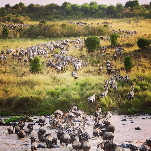 Just a VERY small part of the Great Migration. Literally millions of animals migrate from the Serengeti to the Maasai Mara. There were also crocodiles in the river and we saw one almost catch a zebra. An amazing sight!  #greatmigration , #thegreatmigration , #africansafari , #kenyasafari