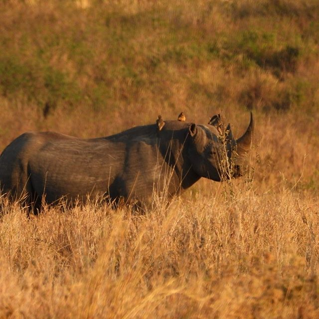 """""""David"""", the black Rhino, one of just 47 left in the Serengeti.  #serengetinationalpark , #serengeti , #serengetipark , #serengetitanzania , #blackrhino , #serengetirhino #serengetirhinos , #blackrhinos"""