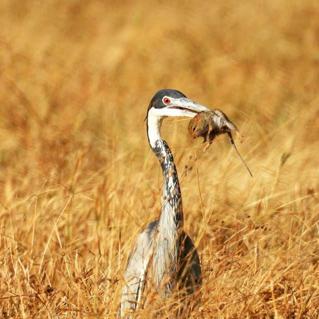 Blue Heron breakfast in Ngorongoro Crater, Tanzania  #ngorongorocrater , #ngorongoro , #africansafaris , #tanzaniasafari , #ngorongoronationalpark , #greatblueheron , #blueheronhunting , #gate1travel2019contest , #gate1travel #2019contest #tanzania