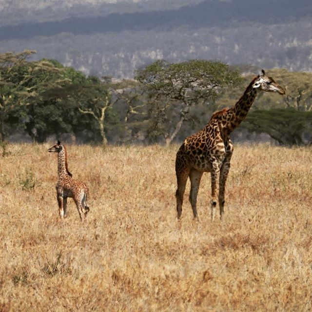 On the lookout for lions! Mother and baby giraffe in the Serengeti.  #serengetinationalpark  #serengeti  #giraffes  #babygiraffes  #serengetisafari  #africansafari  #africanlionsafari , #tanzaniasafari , #tanzania , #gate1travel2019contest , #gate1travel , #2019contest , #gate1travel #2019contest #tanzania