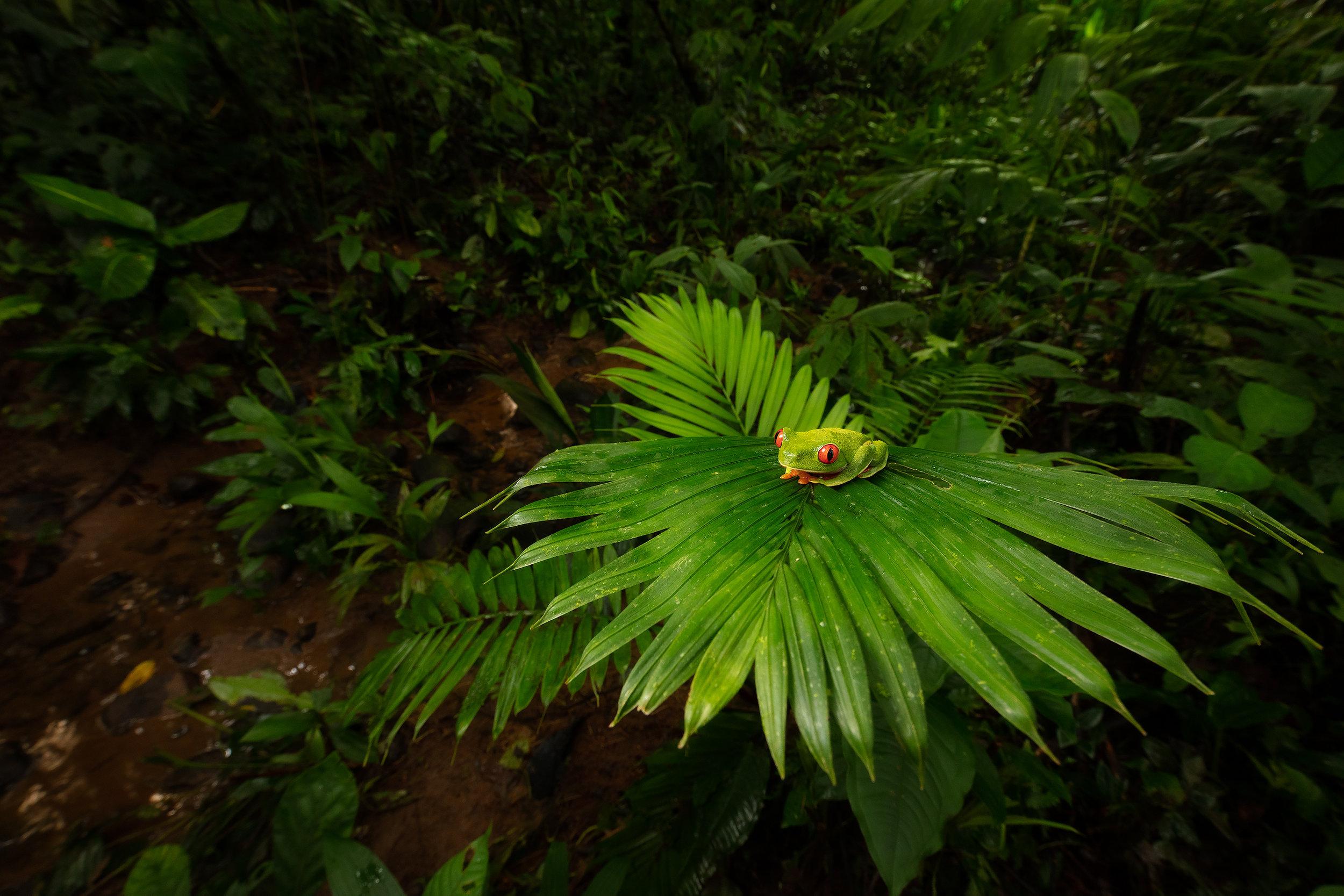 BASCO-tree-frog-in-forest.jpg