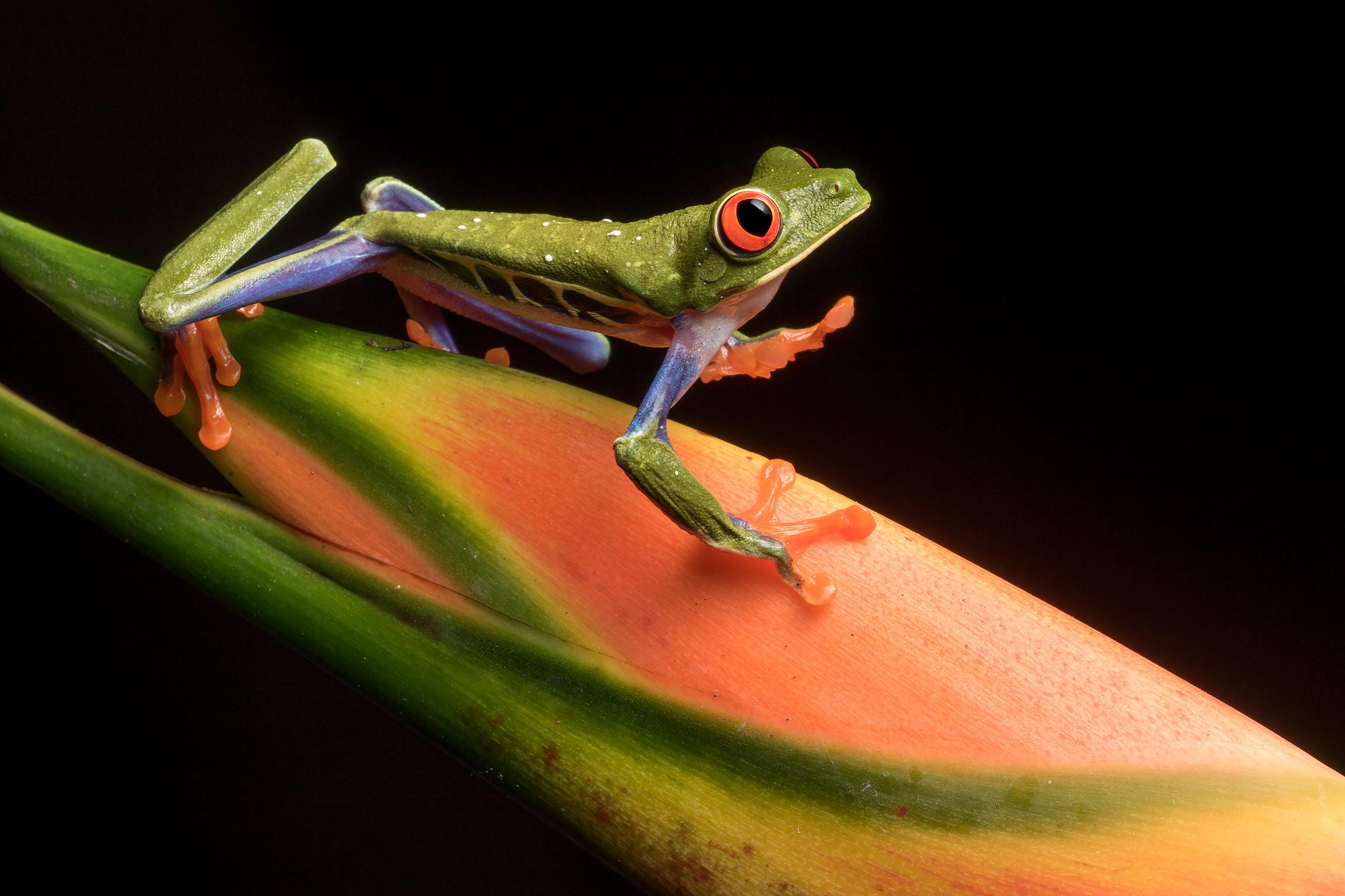 BASCO-flash-red-eyed-tree-frog.jpg