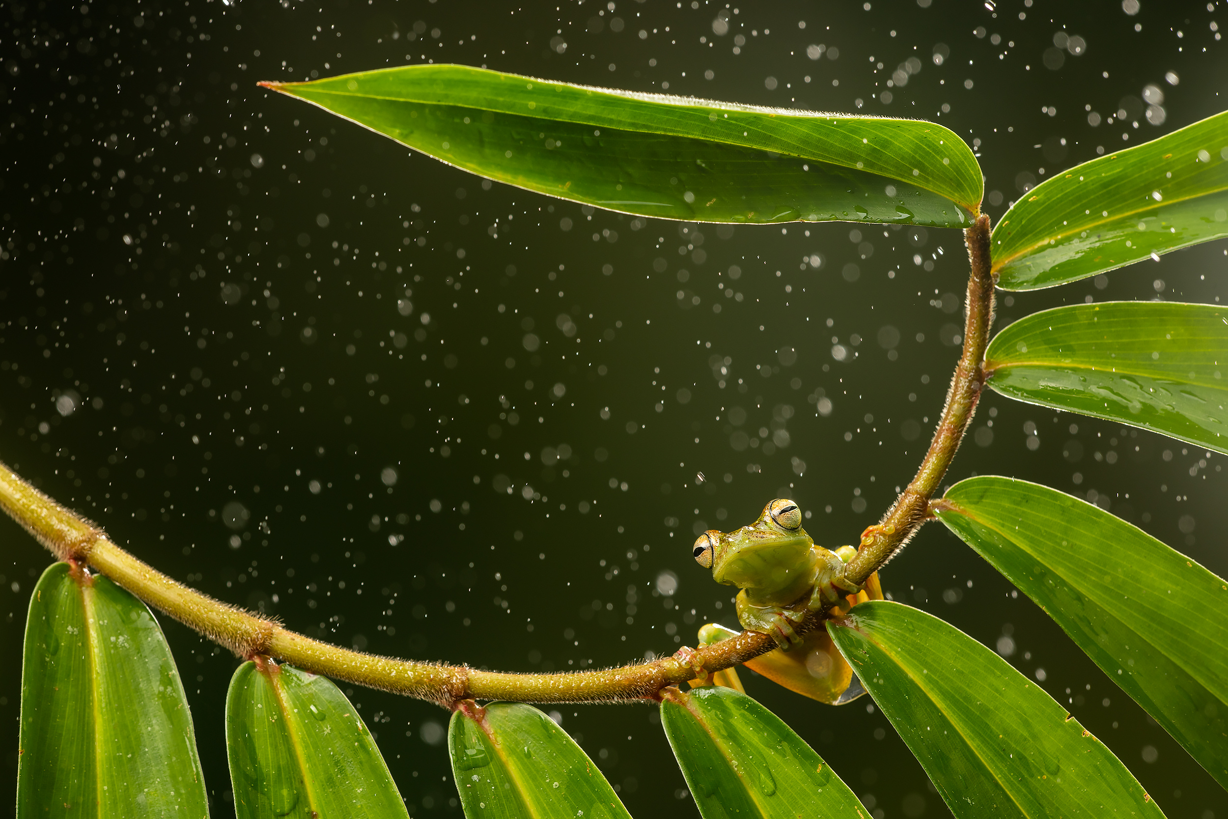BASCO-flash-tree-frog-rain.jpg