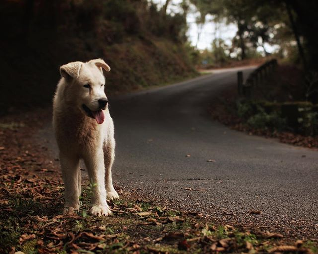 Good girl. . . . . #doggo #dog #walk #galiza #road #forest #pet #cartelle #ourense #spain #españa #hiking #picoftheday #senderismo #galicia #estrada #whitedog #espanha #dogsofinstagram #canonphotos #animalphotography  #outdoors #modernwild #folkgreen #visualsofearth #dogs_of_instagram #exploreearth #wildernessculture