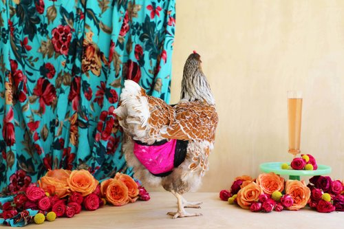 Simple+DIY+chicken+diaper+from+drinkingw
