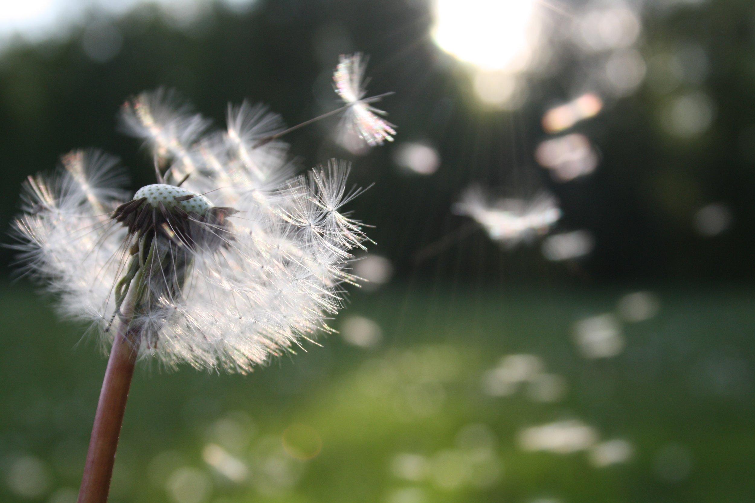 blowball-dandelion-dandelion-seed-54300.jpg