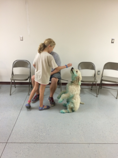 """We play a game called """"pass the puppy"""" to help the pups get used to being handled by different people, and to help you learn how to handle lots of different kinds of pups! Here's cooper, still blue, practicing with a new friend!"""