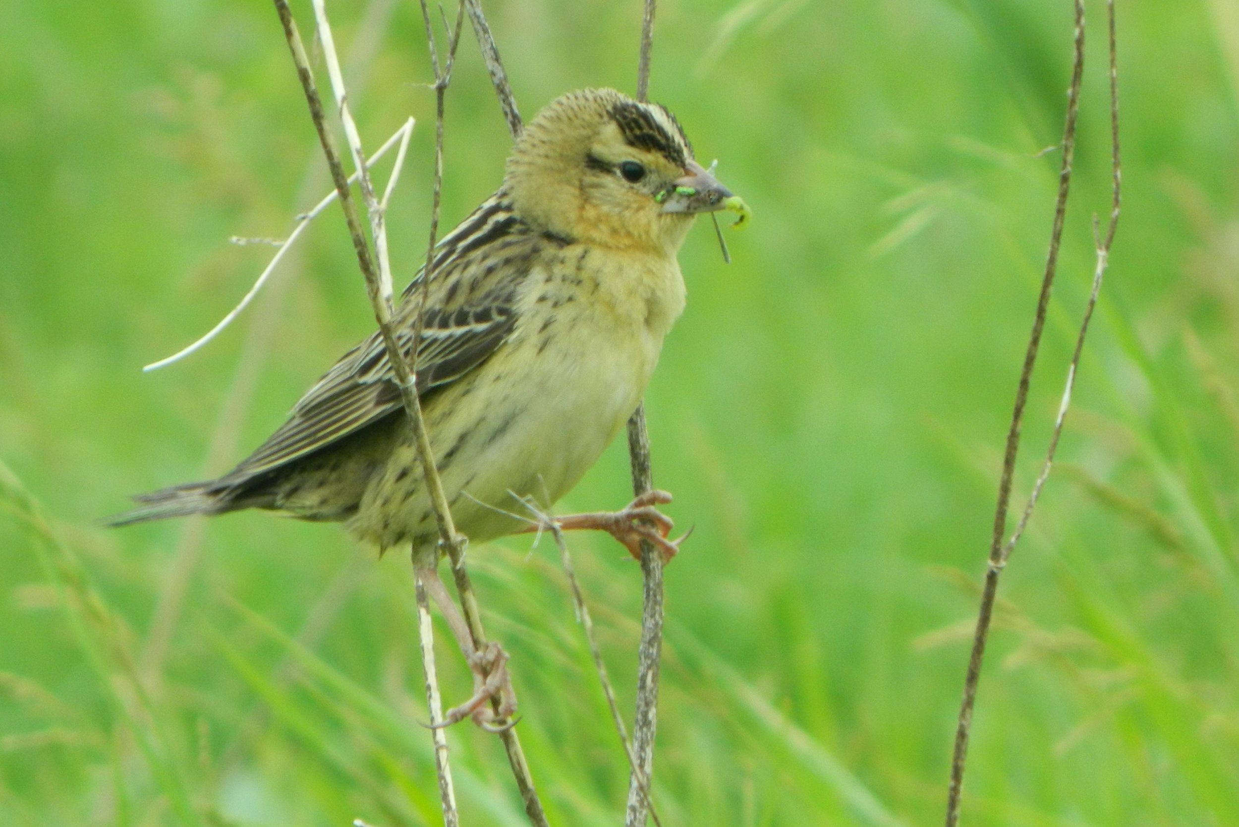 Female Bobolink with food for nestlings (WI)