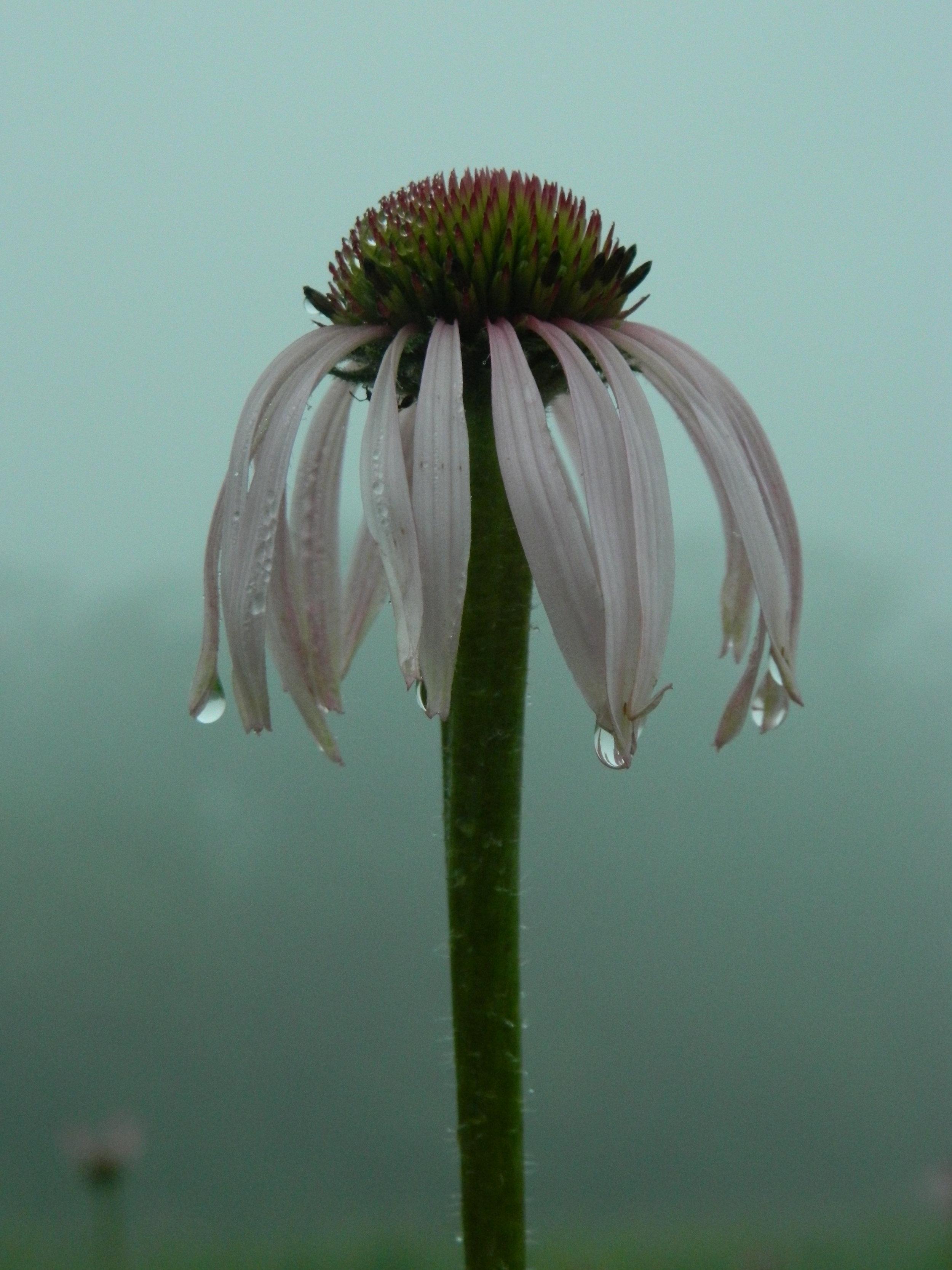 pale purple coneflower in fog (3).JPG