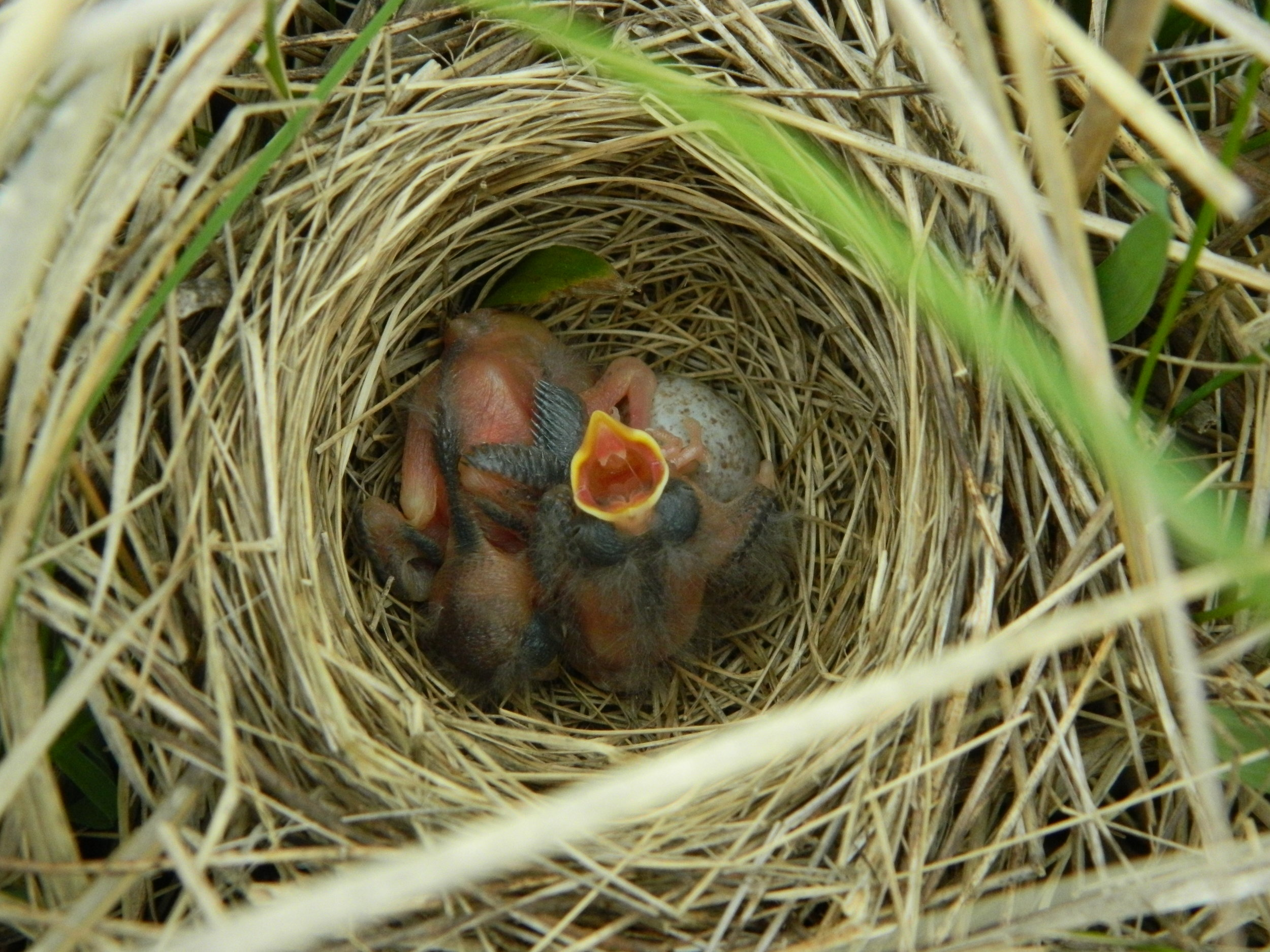 Carolyn_Byers_FieldSparrowNest_DO-NOT-USE-WITHOUT-PERMISSION.JPG