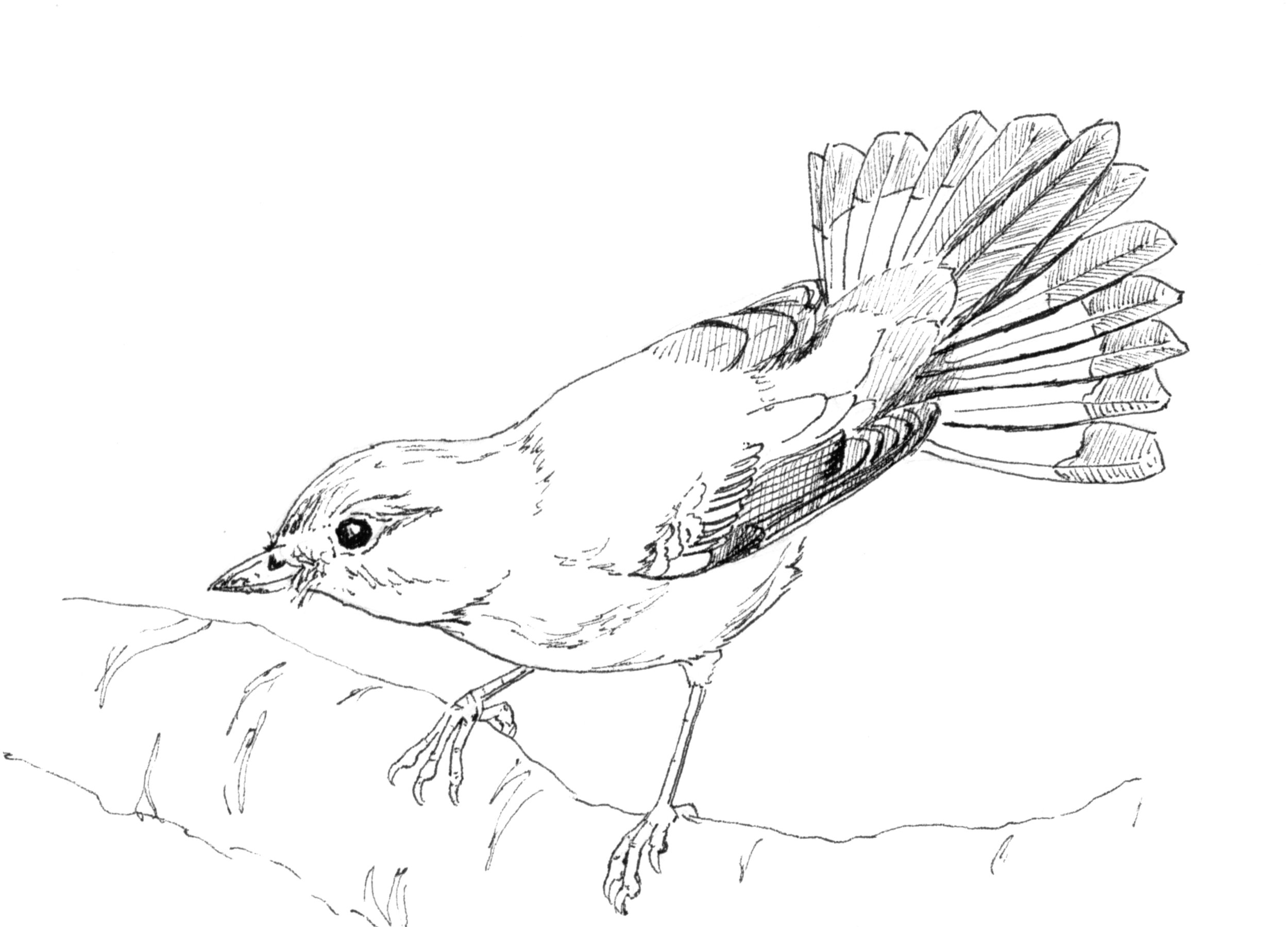 Female American Redstart InkTober.jpg
