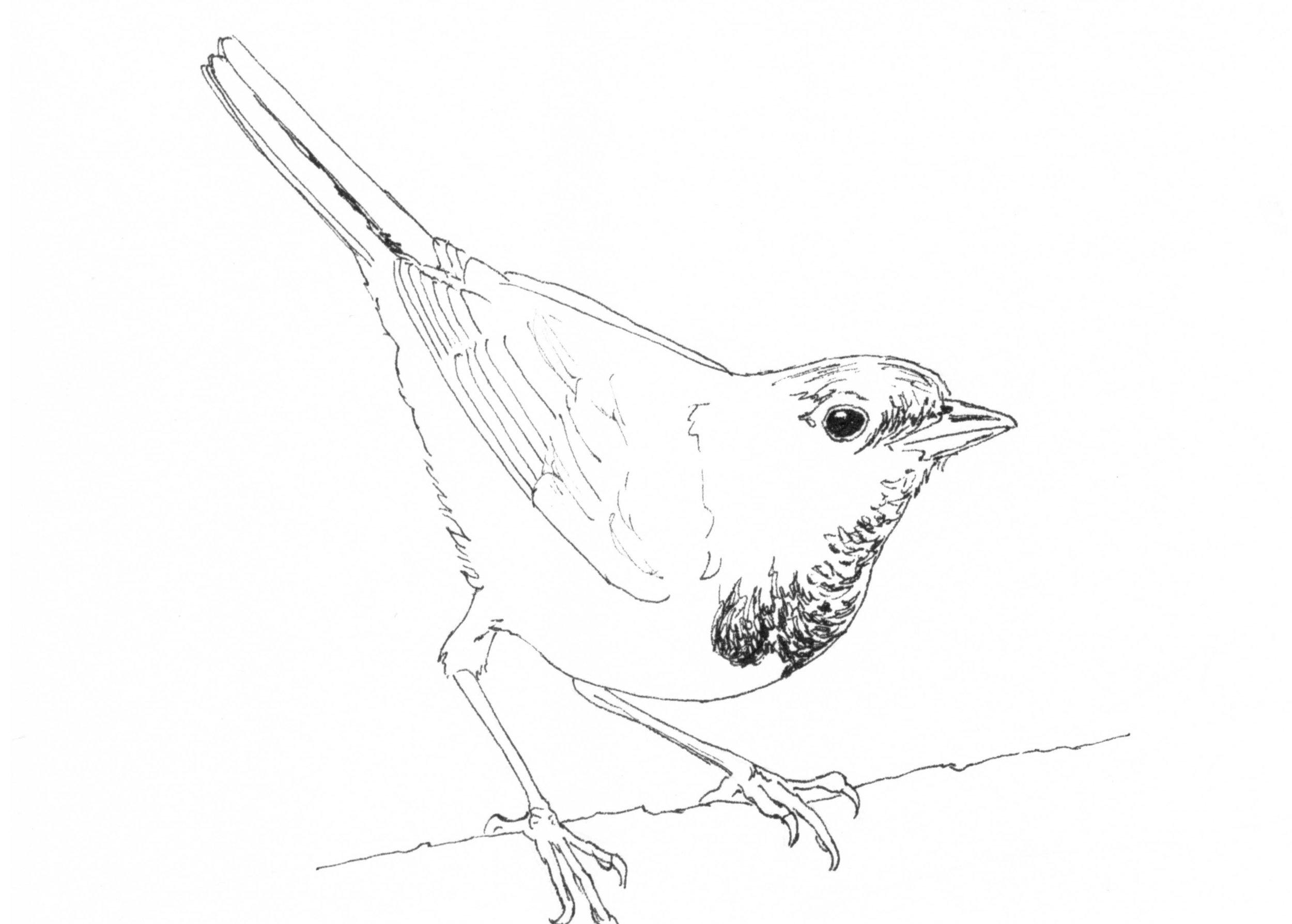 Mourning Warbler InkTober.jpg