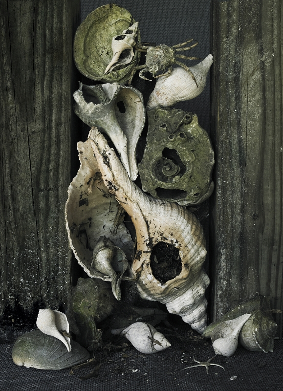 "Horse Conch, Banded Tulip, Crab and Starfish ,  sold  photograph, 40"" x 30"""