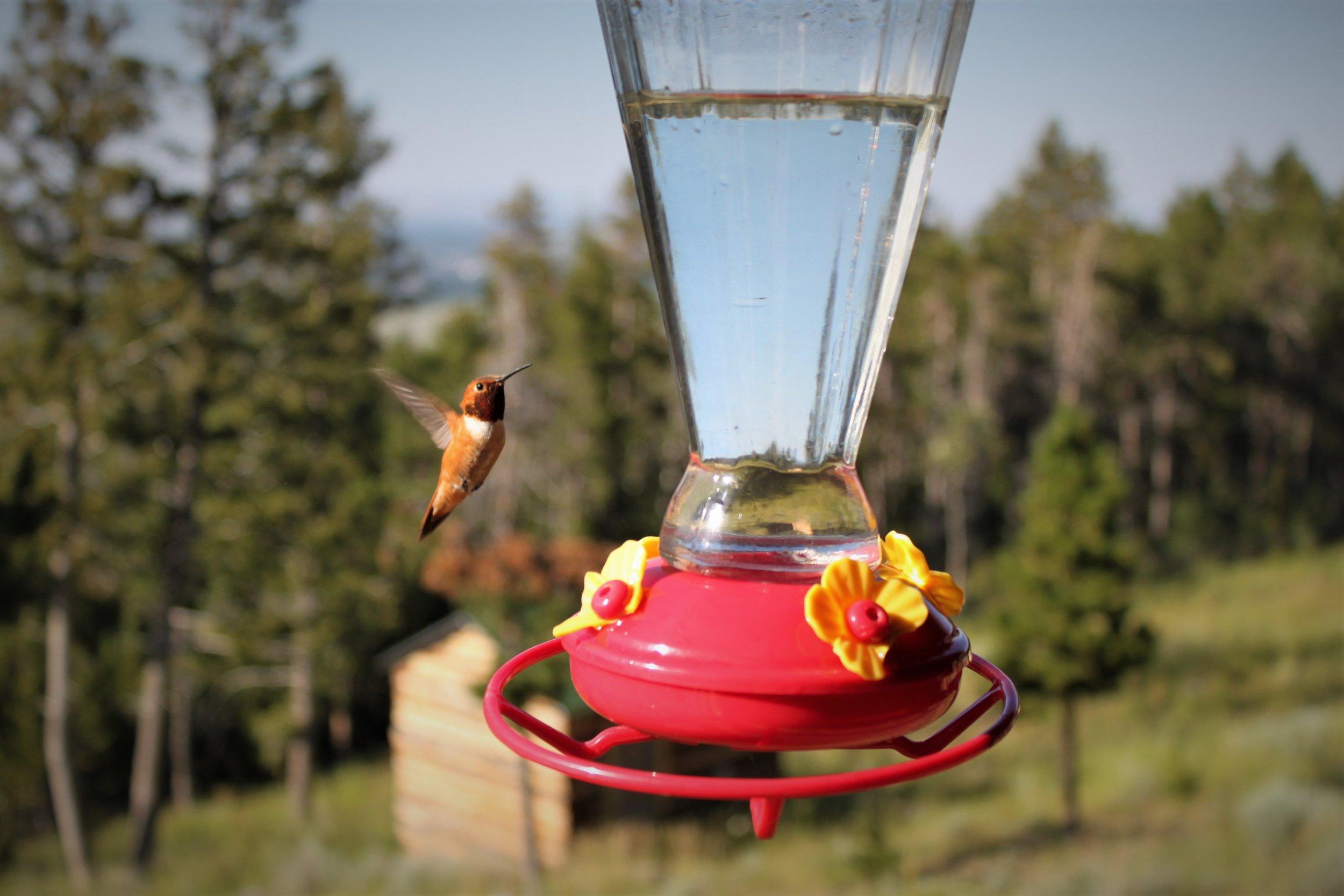 rufous hummingbird @ MFEEDER.jpg