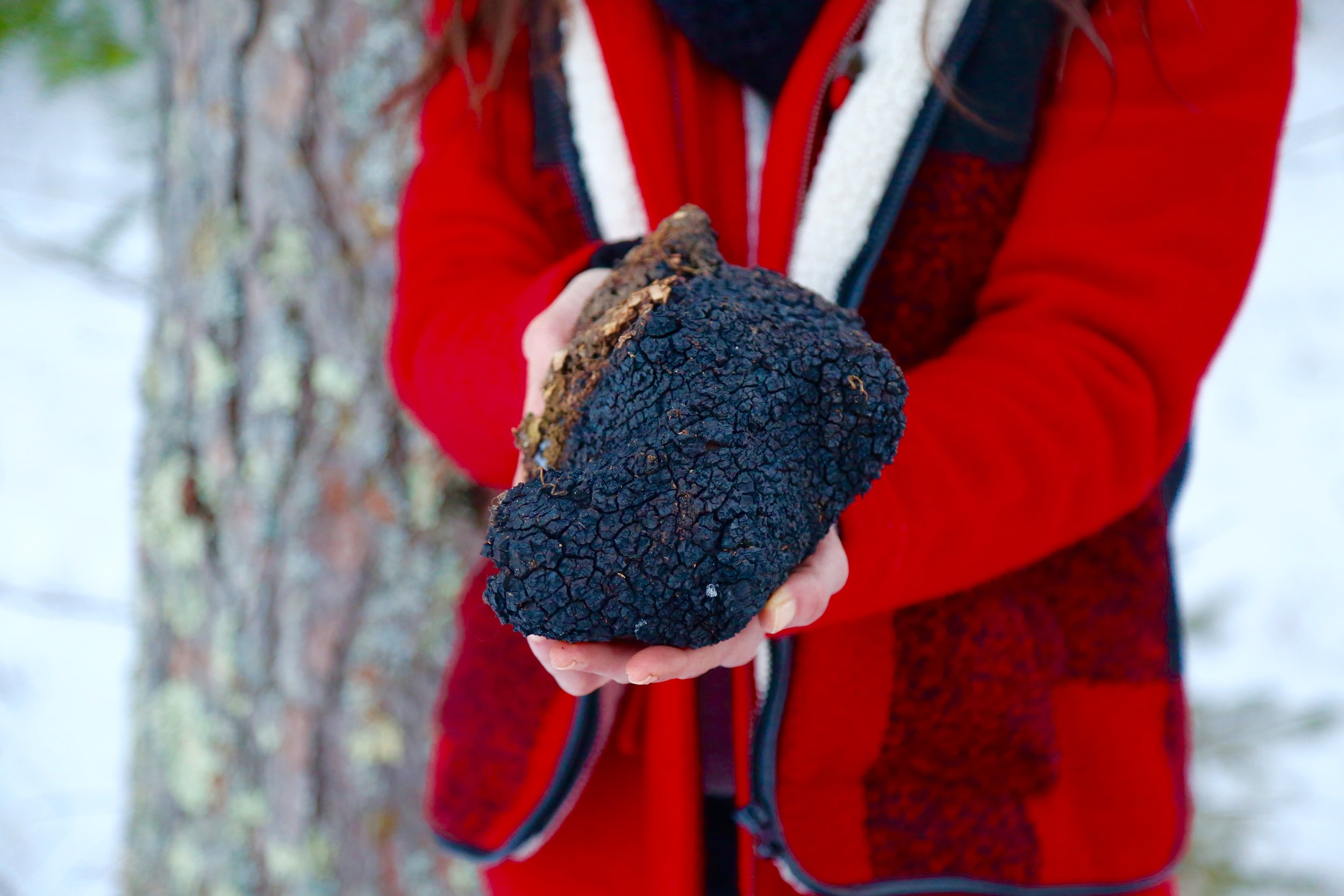 Chaga Mushroom harvested in Northern Minnesota