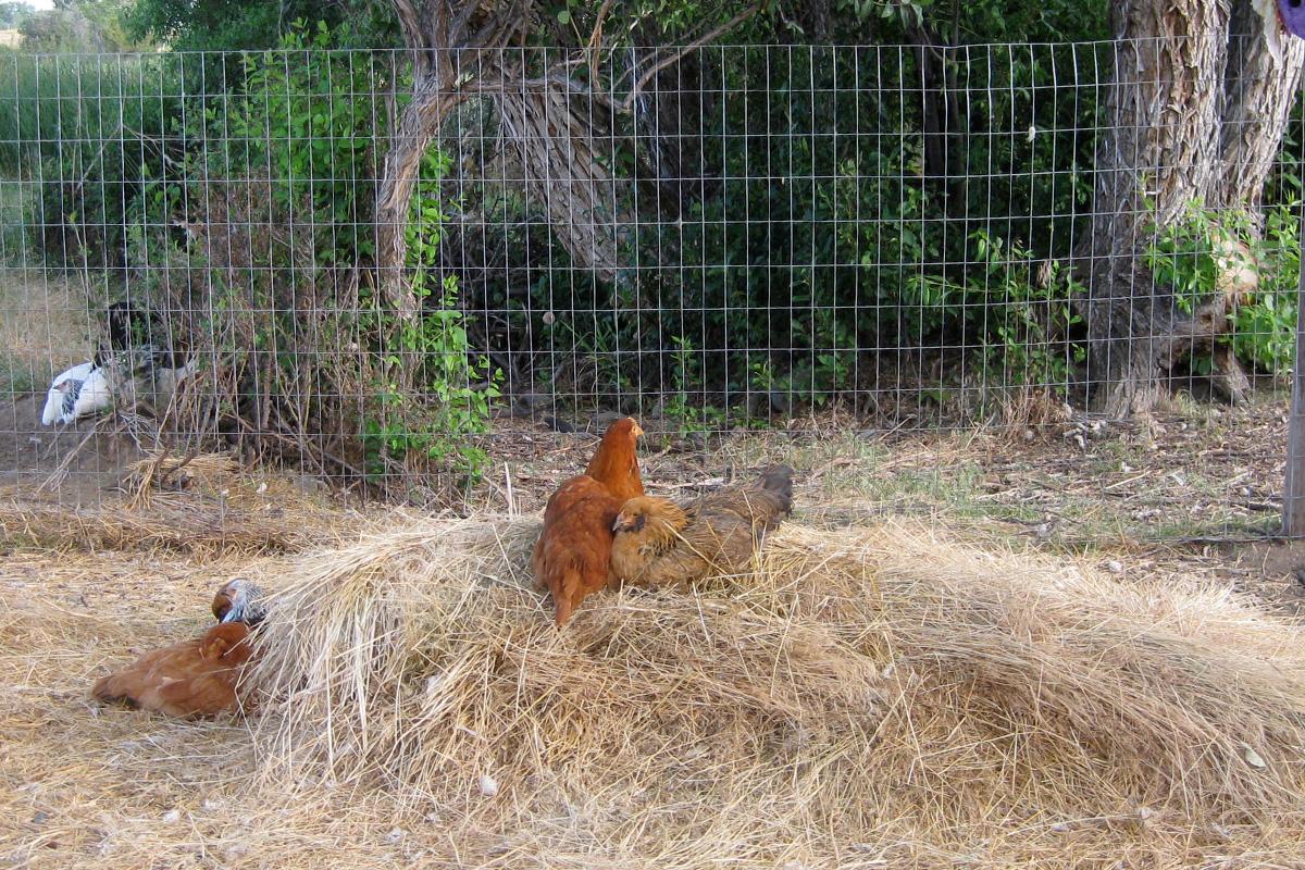 chickens6.jpg