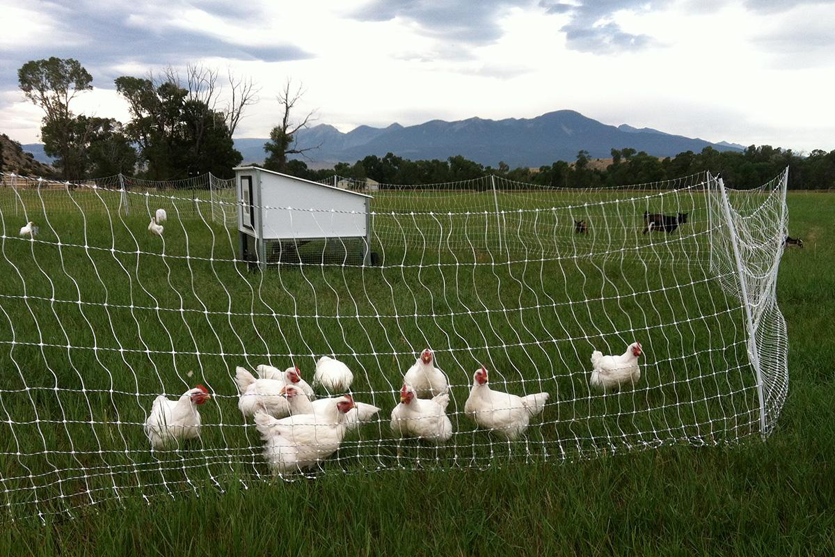 chickens7.jpg