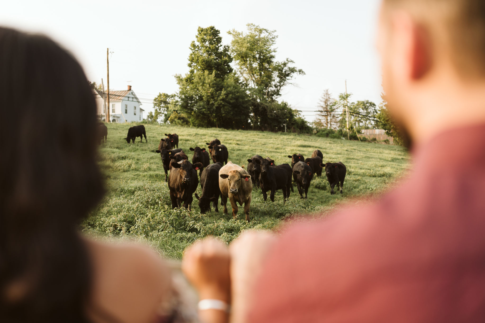 Frederick Maryland, Baltimore Wedding Photographer, Engagement, Bend in the River Farm, Outdoor, Rustic, Nature, Adorable Cows in a Field, Animals
