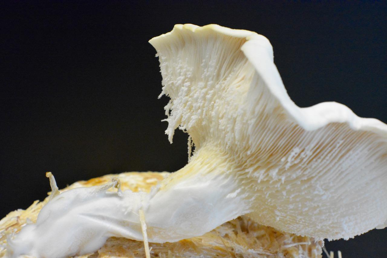 Oyster Mushroom + EuBDC MOF