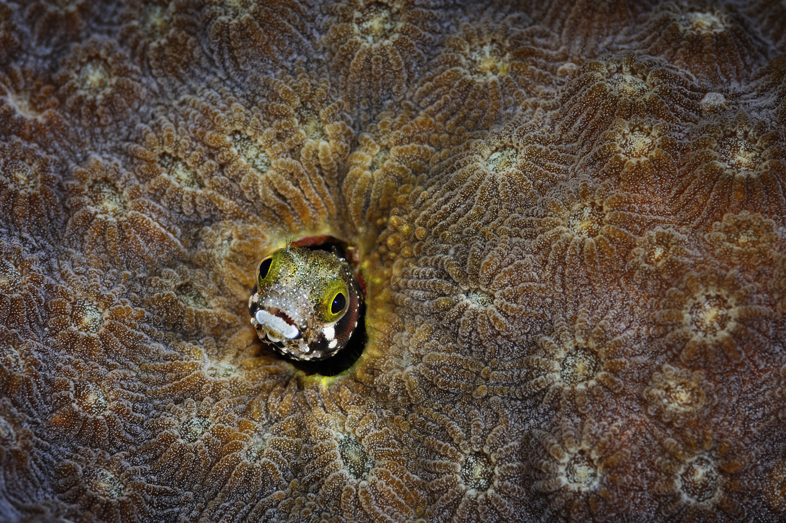 Coral Fortress - Spinyhead Blenny in Coral, Belize, 2010