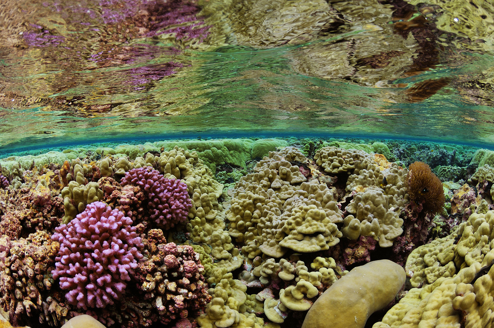 Coral Crucible - Shallow Waters Corals, Kingman Reef, 2007