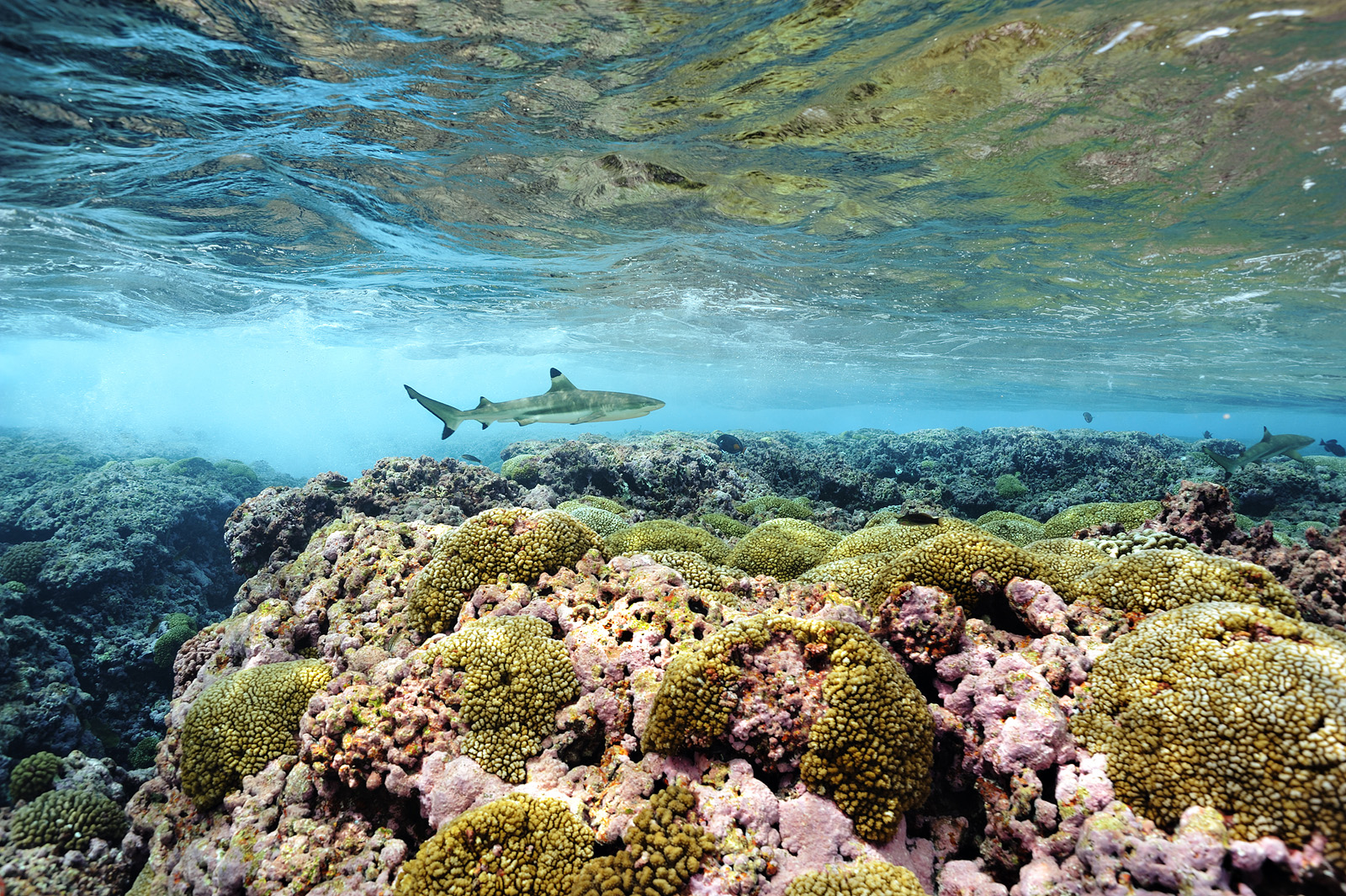Surf Zone - Blacktip Reef Shark, Millennium Atoll, 2009
