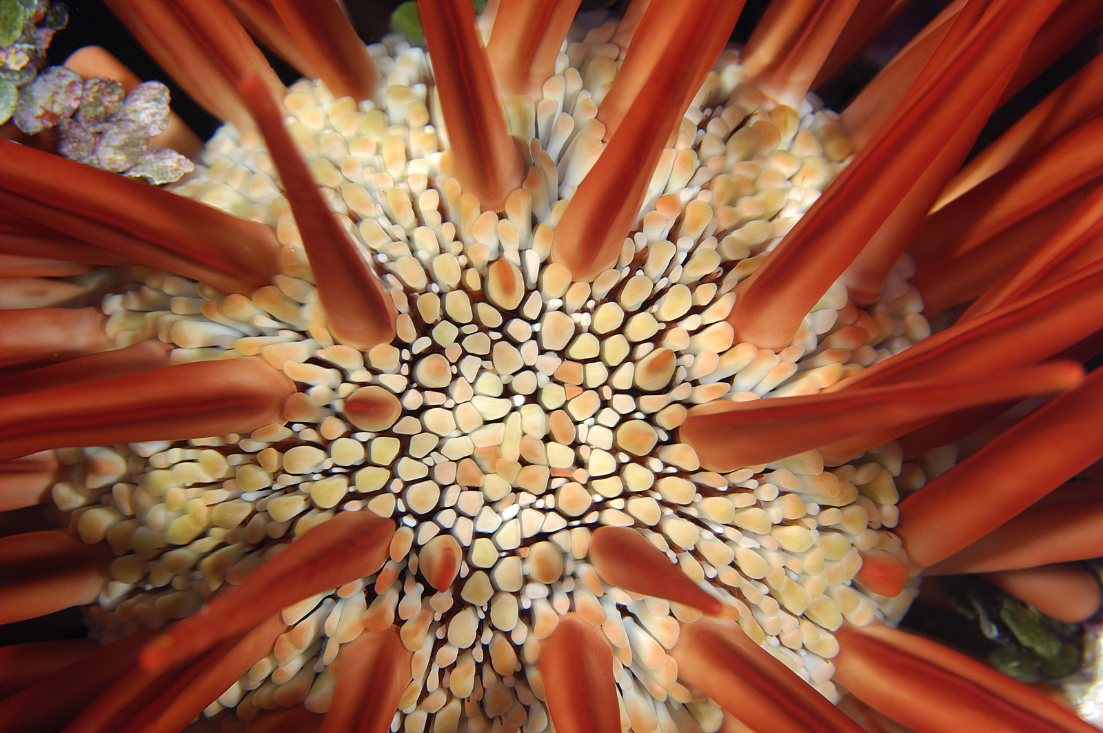 Pencil Urchin - Pencil-Spined Urchin, Kingman Reef, 2007