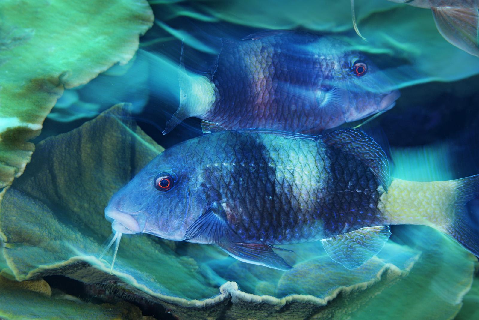 Courtship Dance - Double-Bar Goatfish, Southern Line Islands, 2009