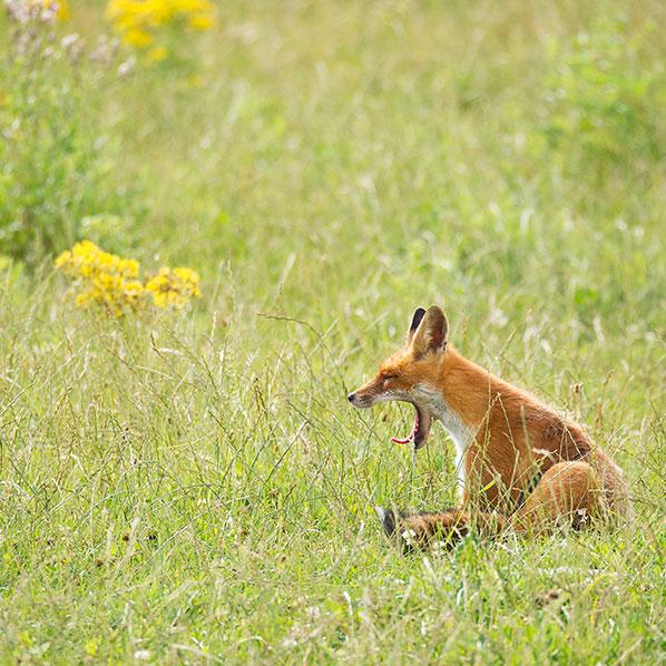 avoiding-fox.jpg