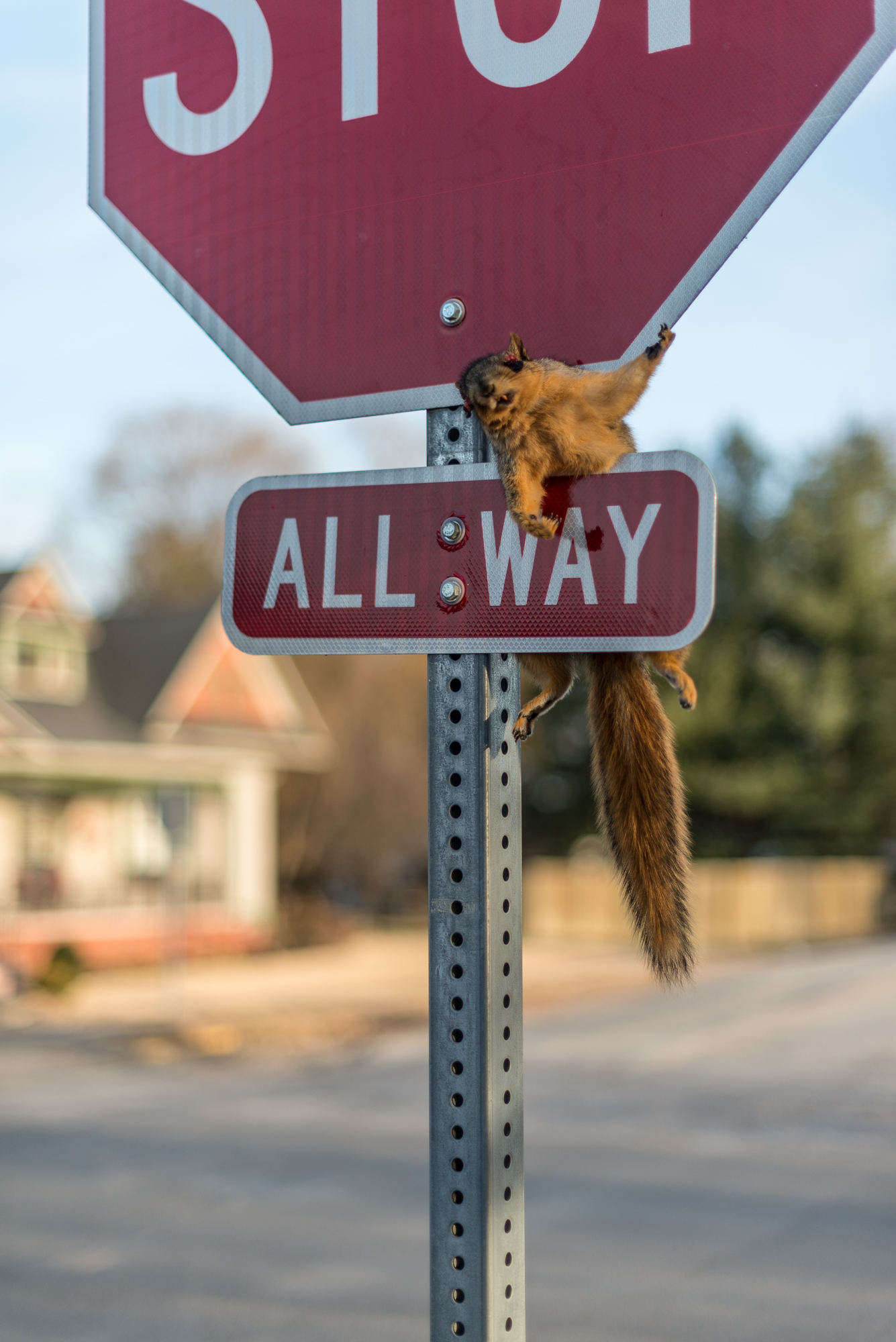 Crucified Squirrel, Carlisle, Indiana, 2017