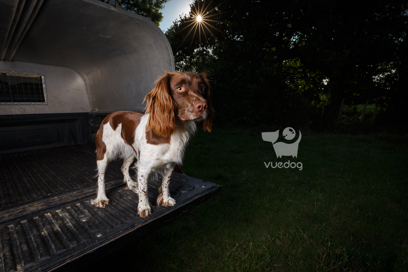 Vue.Dog | Sussex Dog Photography | Dog Photo Session | Jinx | English Springer Spaniel