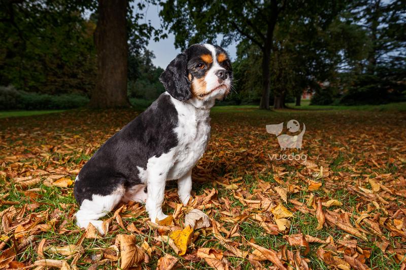 Vue.Dog   Sussex Dog Photography   Dog Photo Session   Malbec   King Charles Spaniel