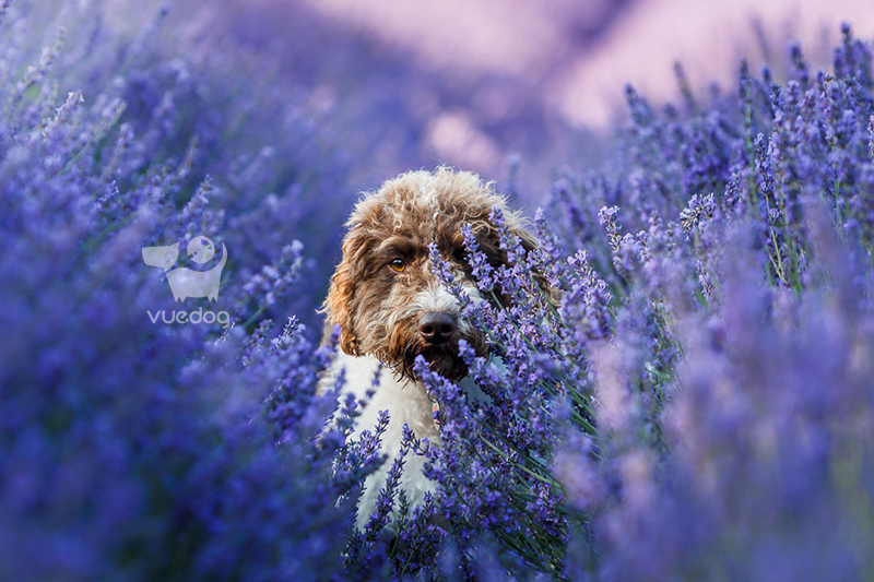 Vue.Dog   Dog Photography   85mm f1.2   Choosing the best lens for pet photography