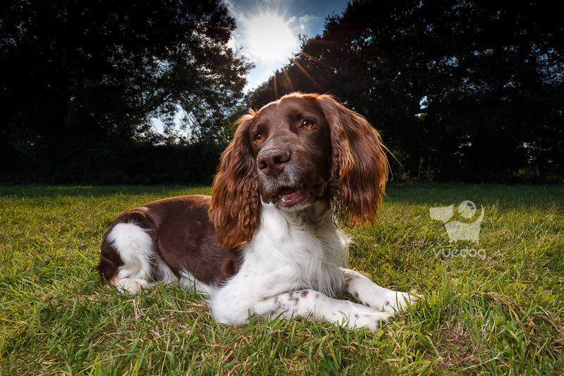 Vue.Dog | Sussex Dog Photography | Dog Photo Session | Moss & Newt | English Springer Spaniels