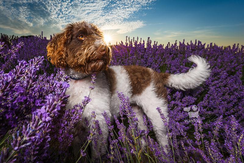 Vue.Dog | Kent Dog Photography | Dog Photo Session | Poodle-X