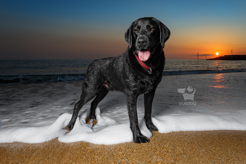 Vue.Dog   Dorset Dog Photography   Dog Photography Session at West Bay beach   Badger   Black Labrador Retriever in the surf