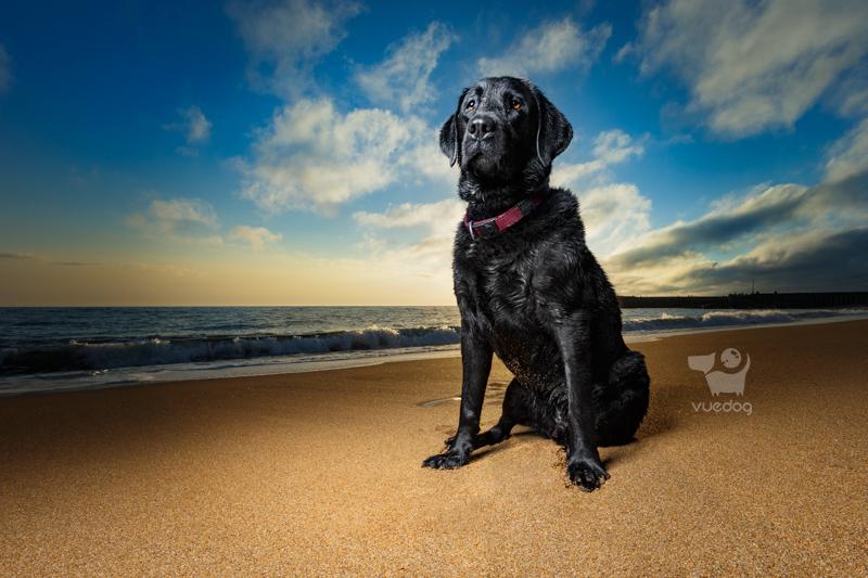 Vue.Dog   Dorset Dog Photography   Dog Photography Session at West Bay beach   Badger   Black Labrador Retriever sitting proud