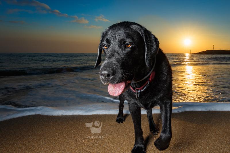 Vue.Dog   Dorset Dog Photography   Dog Photography Session at West Bay beach   Badger   Black Labrador Retriever close up