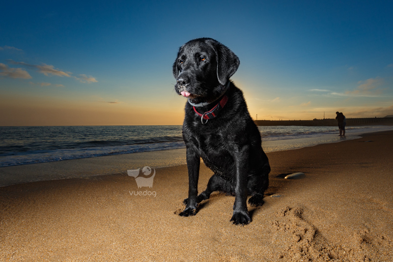 Vue.Dog   Dorset Dog Photography   Dog Photography Session at West Bay beach   Badger   Black Labrador Retriever looking a bit bored!