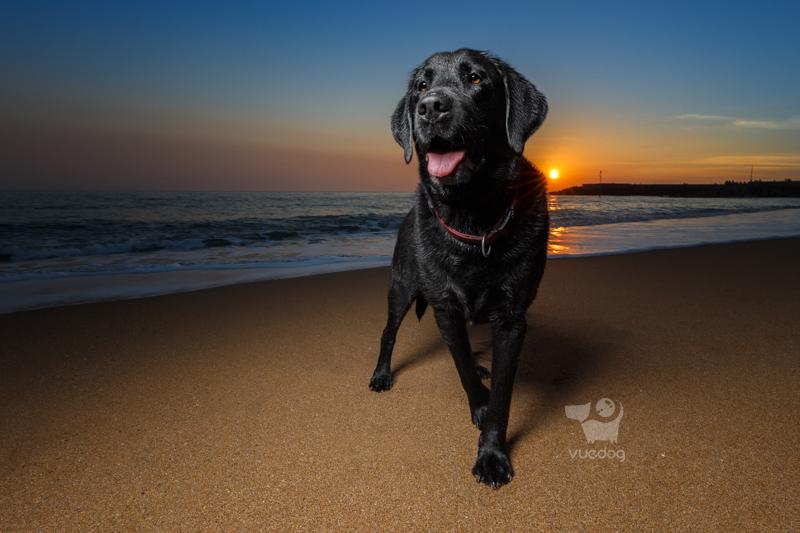 Vue.Dog   Dorset Dog Photography   Dog Photography Session at West Bay beach   Badger   Black Labrador Retriever at last light