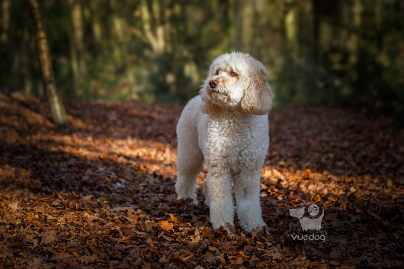 Vue.Dog | Kent Dog Photography | Dog Photography Session at Petts Wood | Izzie | Labradoodle in woodland