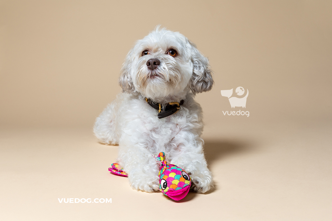 vuedog-pet-photography-studio-client-session-miniature-poodle-x-lhasa-apso.jpg