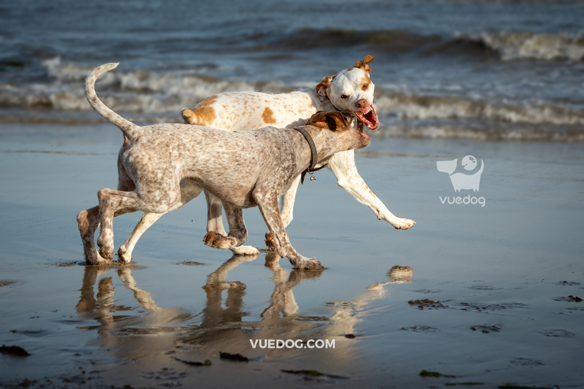 vuedog-photography-andrew-sproule-pointers-lyme-regis-dorset-8.jpg