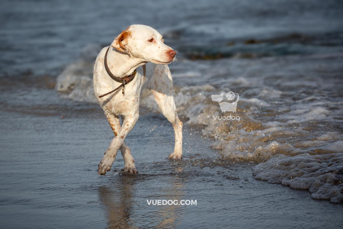 vuedog-photography-andrew-sproule-pointers-lyme-regis-dorset-10.jpg