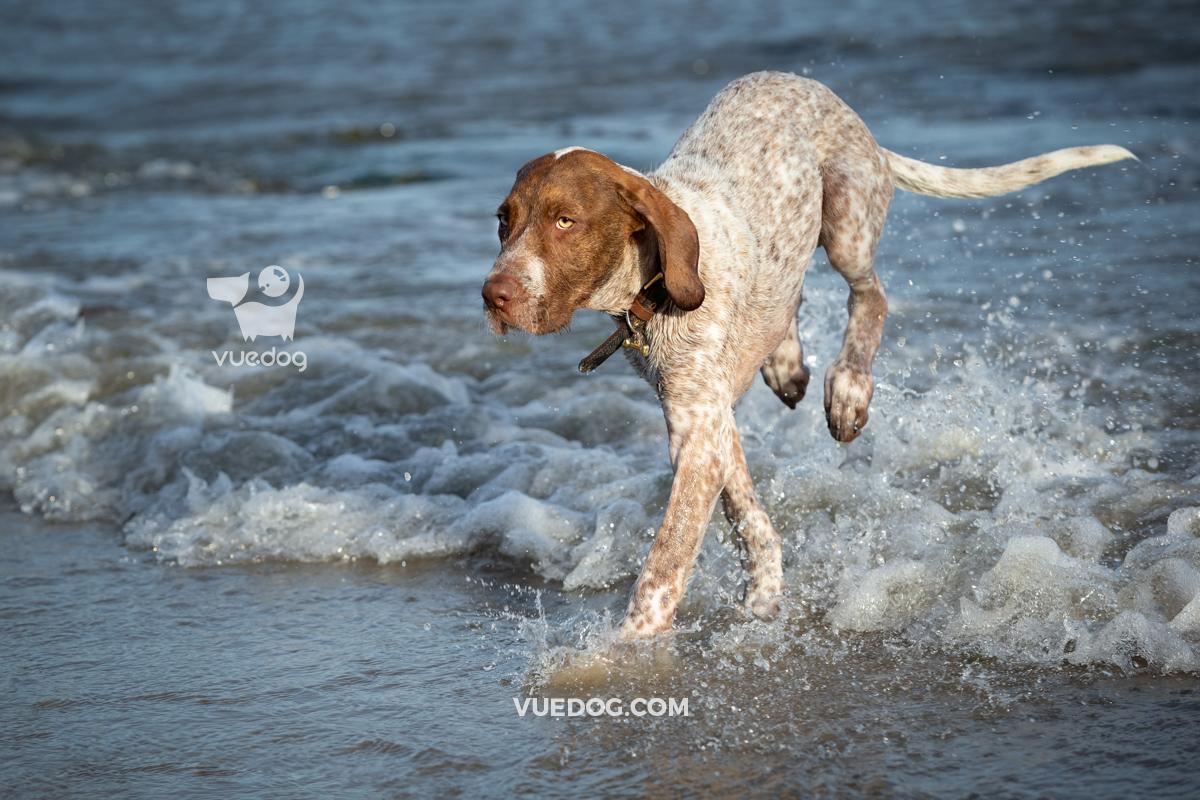 vuedog-photography-andrew-sproule-pointers-lyme-regis-dorset-9.jpg