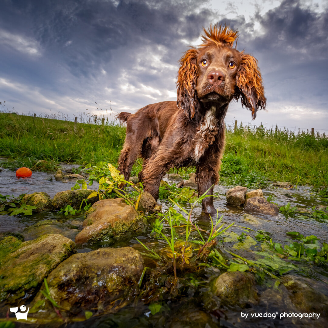vuedog-photography-andrew-sproule-cocker-spaniel.jpg